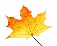 Maple leaf. Autumn maple leaf isolated on white background Stock Photos