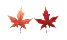 Free Maple Leaf Royalty Free Stock Photos - 3475528