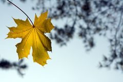 Maple leaf. Yellow maple leaf at fall Royalty Free Stock Photo