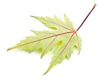 Maple leaf. On white background Royalty Free Stock Image