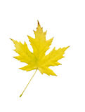 Maple Leaf. (Clipping Path Included stock photo
