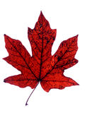 Maple leaf. In autumn colors isolated on white Stock Images