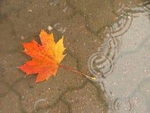 Maple leaf. Fallen autumn maple leaf in the rain Stock Photography