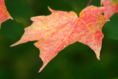Maple leaf. A red and yellow maple leaf Royalty Free Stock Photos