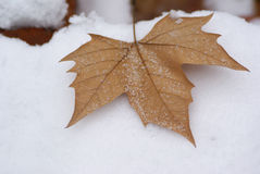 Maple leaf. The maple leaf in the snow Royalty Free Stock Image