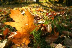Maple leaf. Leafs on grass in autumn royalty free stock photo