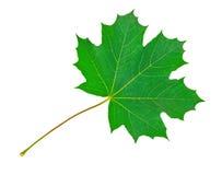 Maple Leaf. On white background royalty free stock photo