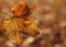 Maple leaf Royalty Free Stock Images
