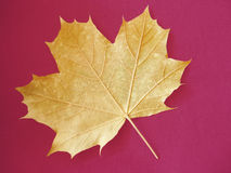 Maple leaf. Yellow maple leaf on vibrant red background Royalty Free Stock Image