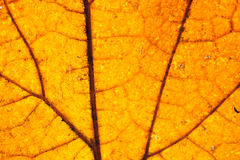 Maple leaf. Yellow maple leaf in the autumn - macro Stock Photography