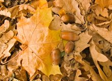 Maple leaf and acorns Stock Photo