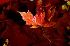 Maple Leaf Afloat Stock Images