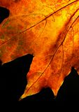 Maple leaf against the sun. Colourful autumn foliage Stock Images