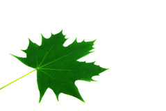 Maple leaf alone Stock Photos