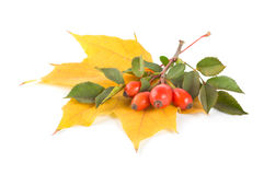 Maple Leaf And Briar Royalty Free Stock Photography