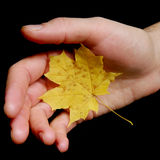 Maple leaf as sign Royalty Free Stock Image