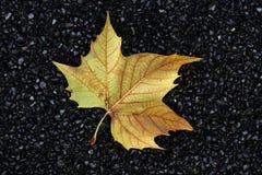 Maple leaf on asphalt Royalty Free Stock Image