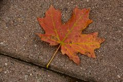 Maple Leaf. Atop Mt Lemmon in Arizona Royalty Free Stock Photo