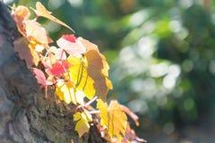 Maple leaf in Autum season Royalty Free Stock Photo
