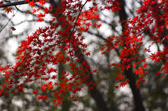 Maple leaf in Autumn. In autumn,the maple leaf in Xixia mountain in Nanjing of China change its colour.It is very beautiful there Stock Photo
