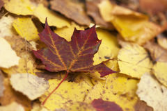 Maple leaf in autumn Royalty Free Stock Image