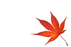 Maple leaf in autumn Stock Images