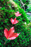 Maple leaf in the autumn Stock Photography