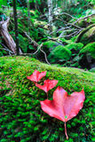 Maple leaf in the autumn Stock Images