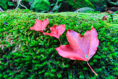 Maple leaf in the autumn Royalty Free Stock Photo