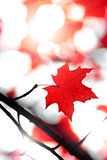 Maple leaf in autumn Royalty Free Stock Images