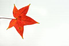 Maple Leaf. Autumn background with red leaves royalty free stock photos