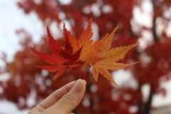 Maple leaf autumn background. Red maple leaves in autumn, blurred background Royalty Free Stock Images