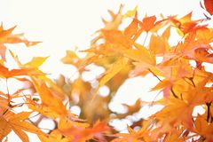 Maple leaf autumn background. Yellow maple leaf in korea or japan garden. Selective focus. very shallow focus. royalty free stock photo