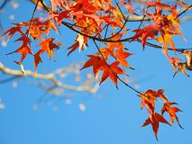 Maple leaf in autumn blue sky royalty free stock photography