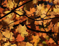 Maple Leaf Autumn Canopy Stock Images