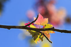 Maple leaf in autumn Royalty Free Stock Photo