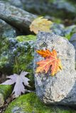 Maple leaf in autumn colors Stock Image