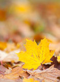 Maple leaf in autumn colors Stock Images