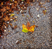 Maple leaf with autumn colors on ground Royalty Free Stock Photo