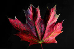 Maple leaf in autumn colors royalty free stock photo
