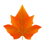 Maple leaf in autumn colors. Isolated on a white background. Vector illustration Stock Photography