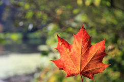 Maple leaf with autumn colors Stock Photography