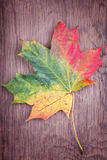 Maple leaf with autumn colors Stock Photo
