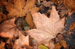 Maple leaf, autumn concept Royalty Free Stock Photography
