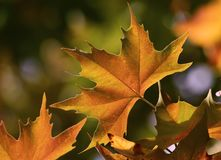 Maple Leaf in Autumn / Fall stock image