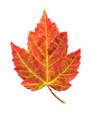 Maple Leaf in Autumn Foliage. Red Maple Leaf during Autumn or Fall Foliage Stock Photos
