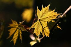 maple leaf in autumn forest Stock Photo