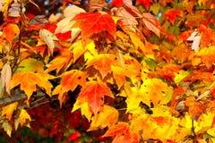 Maple Leaf, Autumn, Leaf, Yellow Stock Image