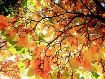 Maple leaf. Autumn maple leaf red yellow royalty free stock images