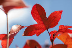 Maple leaf in autumn Stock Photography